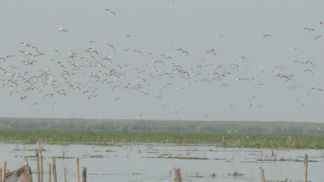 南洞庭湖迎来成群候鸟,场面壮观