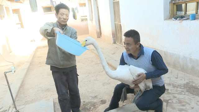 村民捡天鹅欲吃掉,一查是二级国宝