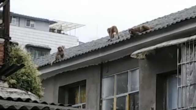 猴哥携妻儿私闯,女住户吓懵:像穿越