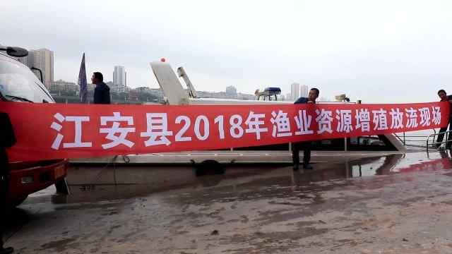 增殖放流,巡逻队救助49尾长江鲟