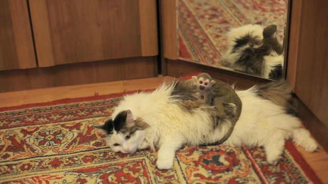 一只高龄猫咪收养了被遗弃的小猴子