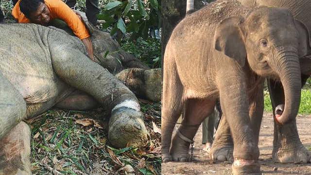 小象遭猎人诱捕,伤口腐烂险死亡