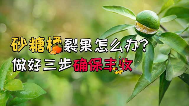 砂糖橘裂果三招防治!