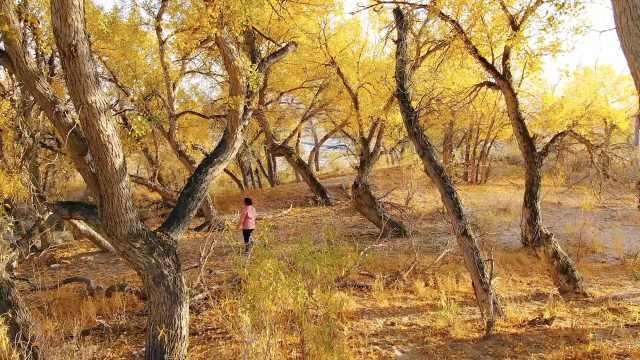 沙漠上的风景:被秋天染黄的胡杨林