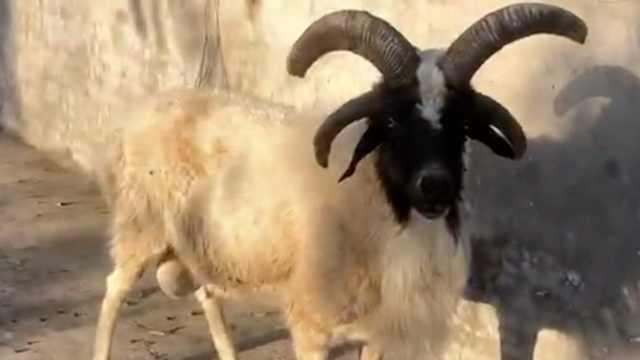 农场现四角奇羊,伴侣去世后总寻死