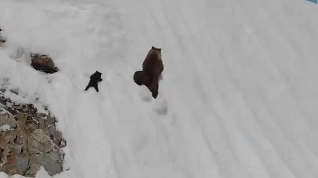 太励志!活捉一只坚韧不拔的小熊