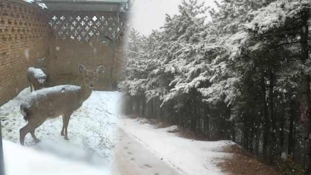 深山飘雪美如画,梅花鹿呆立赏雪景