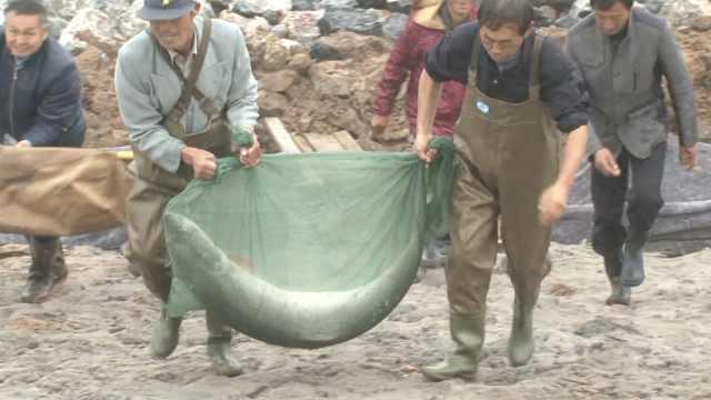 长1.5米!安徽渔民捕58斤罕见大鱤鱼
