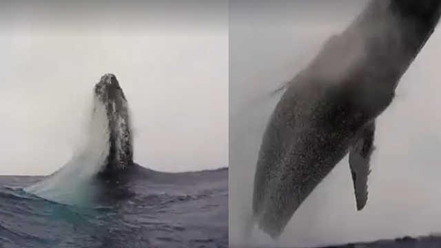 震撼!40吨座头鲸跃出海面,翻江倒海