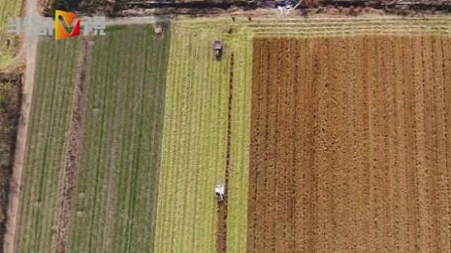 盐碱地可以种水稻吗?