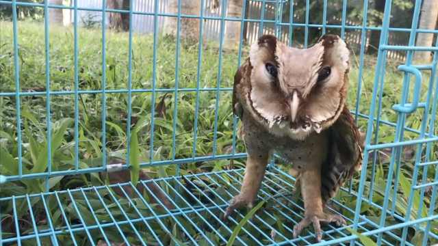 暖男哥哥救受伤猴面鹰,为它找归宿