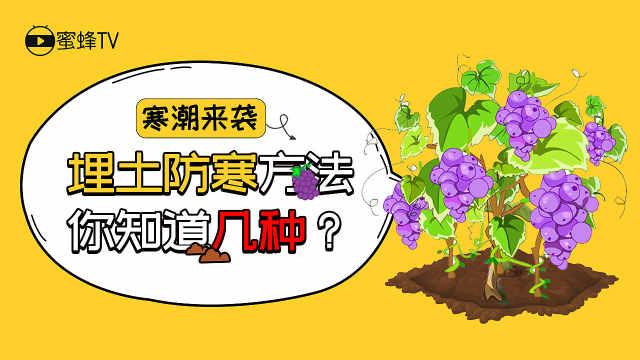 葡萄埋土防寒方法你知道几种?