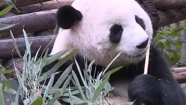 大熊猫吃竹子为何不会扎到嘴?