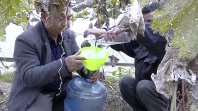 怪!村民种丝瓜只收水:1斤卖150元
