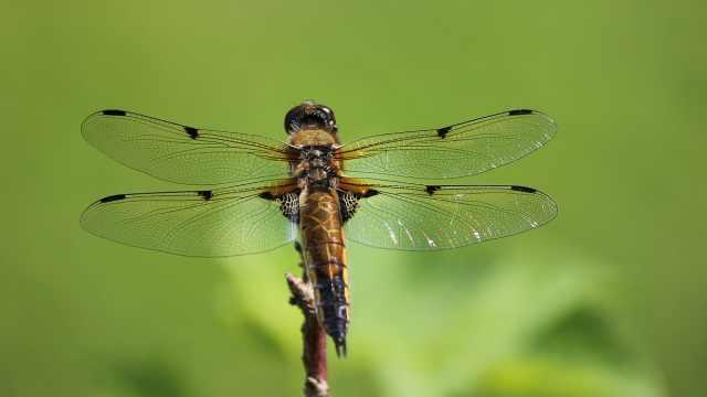 科普小百科之蜻蜓