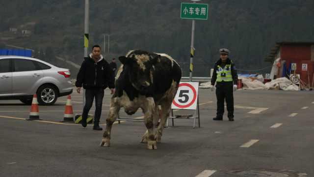 加拿大种牛高速