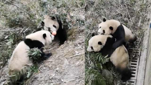 熊猫疑因领地打架,基地:已安排分班