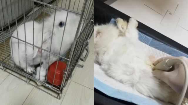兔子也患癌?医生:宠物最好定期体检