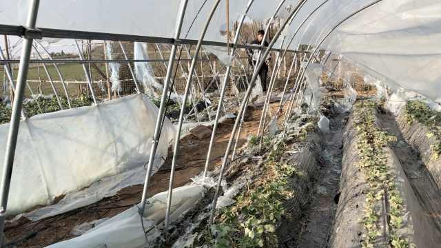 草莓棚被烧损失50万,农妇哭:年咋过