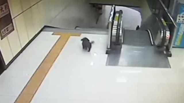 冷!泰迪四上四下地铁扶梯疑似热身