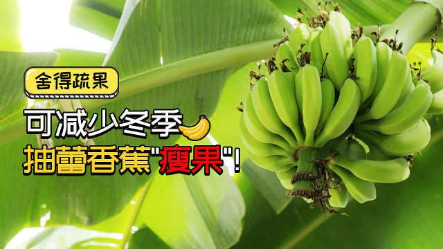 舍得疏果,可减少冬季抽蕾香蕉瘦果