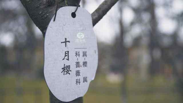 玄武湖十月樱春雨里盛开,娇艳动人