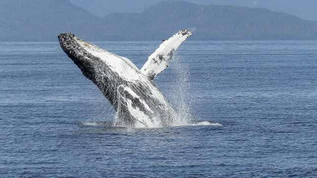 海洋生物小百科之座头鲸