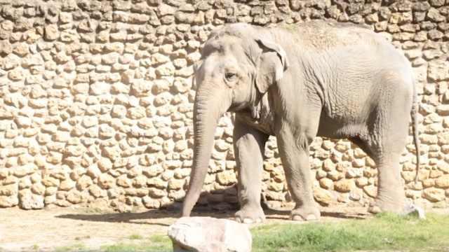 世界最孤独的大象去世,被圈禁43年