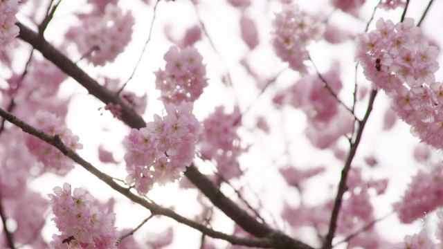 南京这条樱花大道美爆了!