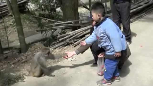 成精!猴哥蹲守村庄,路边淡定讨食