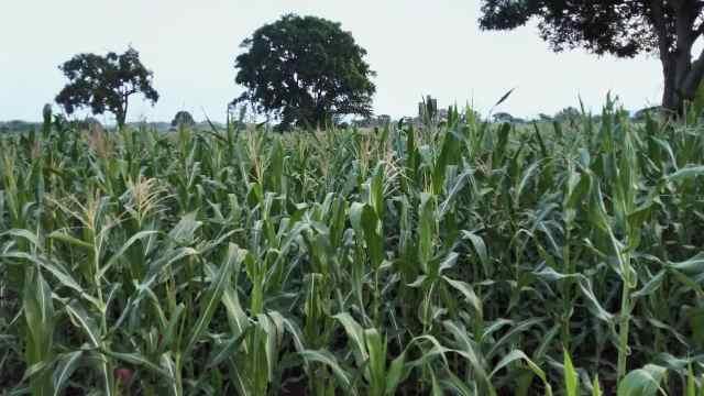 走进非洲的中国玉米技术
