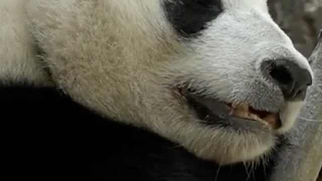 美国下月归还两只大熊猫,粉丝心碎
