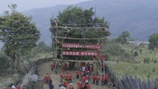 云南茶王树上5千万保险,20人开摘