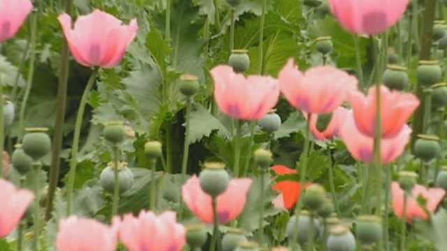 罂粟,是不能种植的