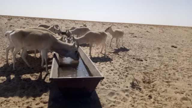 老乡收养22只黄羊,拨3千亩草场养育
