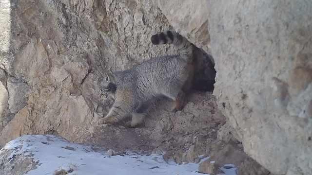 羞羞!雪豹镜头前撒尿,兔狲首出镜