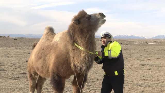 新疆有奇招:牲口戴上反光带防被撞