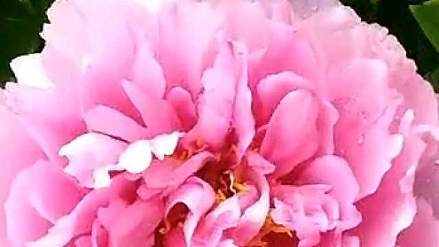 牡丹花開多嬌艷