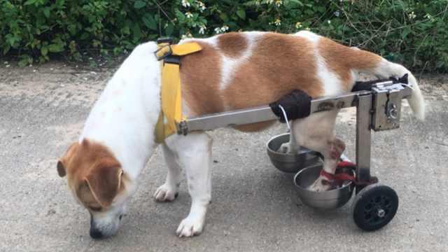 爱犬瘫痪,主人定制轮椅带它遛弯