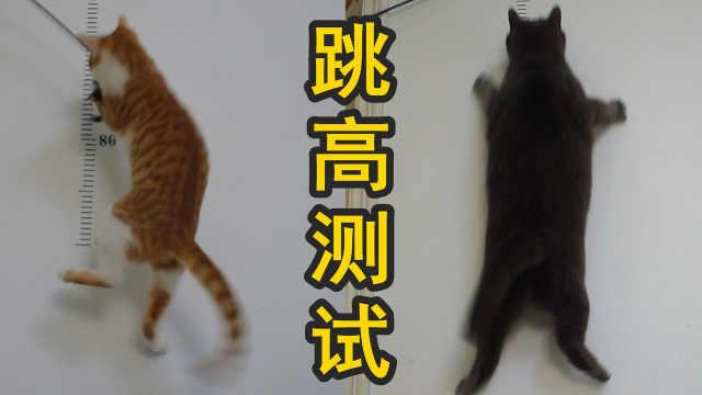 猫能跳两米?测试一下家里的两只猫