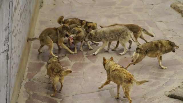 地表最硬核景区:可买活鸡喂群狼