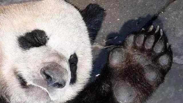 """新研究:大熊猫是""""超级食肉动物"""""""
