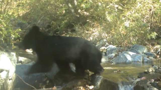 朝韩非军事区发现濒危野生亚洲黑熊