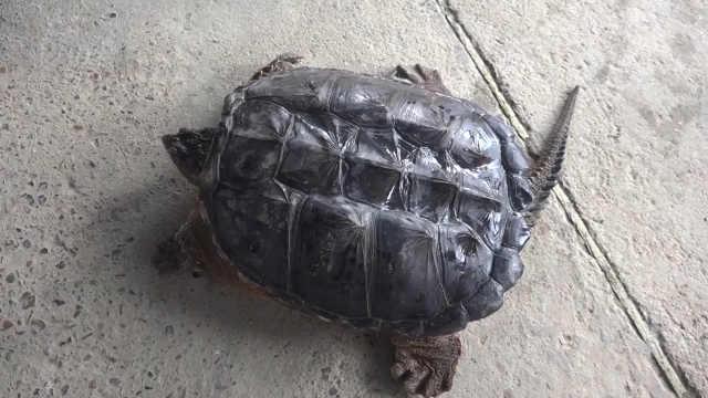 美洲鳄龟闯湖北,经鉴定后被杀掉