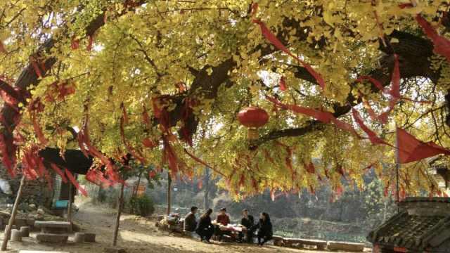 树中树!千年银杏
