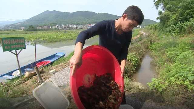 藕田里种小龙虾,又能吃藕又吃虾