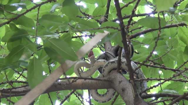 高能!2米长蛇盘小区树上,居民崩溃