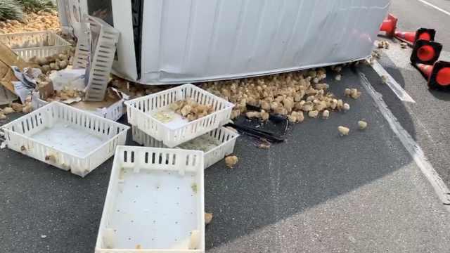 小鸡快跑!货车侧翻,千只小鸡大逃亡