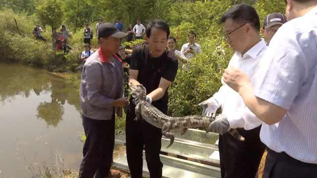 安徽放归120扬子鳄,野生仍极度濒危