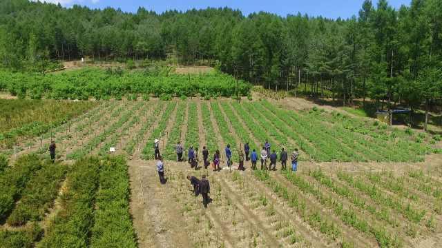 他包528亩山地种野菜,家人都支持